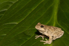 Gray Treefrog (Hyla versicolor). Gray Treefrog on a skunk cabbage leaf royalty free stock images