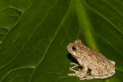 Gray Treefrog (Hyla versicolor). Gray Treefrog on a skunk cabbage leaf royalty free stock photos