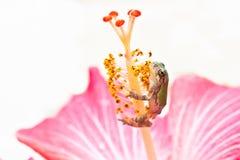 Gray Treefrog Metamorph stockbilder