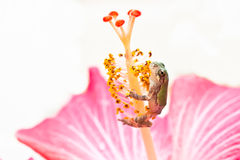 Gray Treefrog Metamorph Stock Images