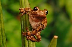 Gray treefrog on stem Royalty Free Stock Image