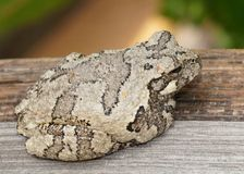 Gray Treefrog or Tree Frog, Hyla versicolor. Animal camouflage - Gray Treefrog or Tree Frog, Hyla versicolor, hiding during the day on a fence post stock photos