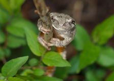 Gray Treefrog or Tree Frog, Hyla versicolor royalty free stock photo