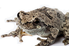 Gray Treefrog  on white. Stock Images