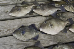 Gray trigger fish caught by sport fishermen Royalty Free Stock Image