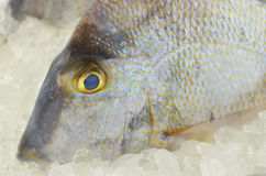 Gray Triggerfish Closeup. Closeup of gray Triggerfish with yellow and blue tints on ice Royalty Free Stock Images