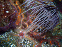Gray Tube-dwelling Anemone surrounded by colorful Spiny Brittle Stars Royalty Free Stock Photo