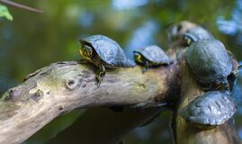 Gray Turtles Crawling on Tree Brunch Stock Image