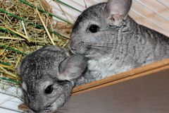 Gray two fluffy chinchilla sits on a wooden Board gnaw in a cage royalty free stock images
