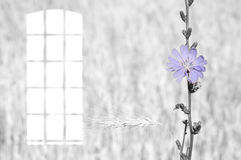 Gray vintage photo blue flower of chicory and window. Vintage photo. skylight window and flower blue chicory on a gray background Royalty Free Stock Photos