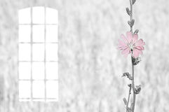 Gray vintage photo blue flower of chicory and window. Vintage photo. skylight window and flower  pink chicory on a gray background Royalty Free Stock Photos