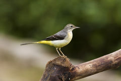 Gray Wagtail,Motacilla cinerea Royalty Free Stock Images