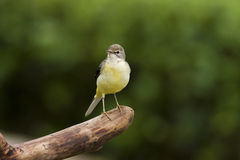Gray Wagtail,Motacilla cinerea Stock Photos