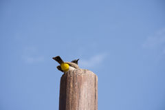 Gray Wagtail op Post Stock Foto