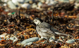 Gray wagtail Stock Photos