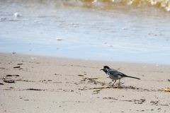 Gray wagtail on the shore. royalty free stock images