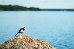 Gray Wagtail sits on a rock against Stock Photos