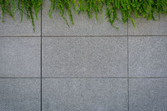 The Gray wall with green creeper plant Stock Images