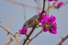 Gray waxbill hummingbird perching on Bougainvillea stock photos
