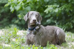 Weimaraner Dog with chew toy Stock Photography
