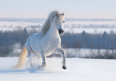 Gray Welsh pony. Galloping on snow hill Stock Image