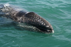 Gray whale calf investigating a small boat Royalty Free Stock Image