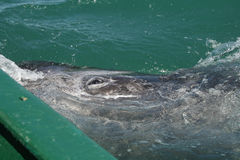 Gray whale calf investigating a small boat Stock Photos