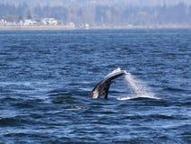 Gray Whale Diving royalty-vrije stock afbeeldingen