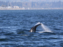 Gray Whale Diving Royalty Free Stock Images