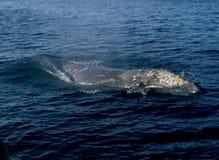 Gray Whale royalty free stock photos