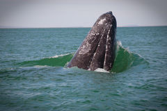 Gray whale falling. royalty free stock photography