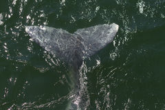 Gray Whale Fin. Whale fin of a Gray whale Royalty Free Stock Images