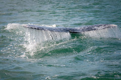 Gray whale flips his tail. While diving deep in Baja, Mexico royalty free stock images