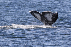 Gray Whale Fluke Imágenes de archivo libres de regalías