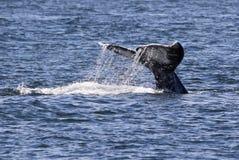 Gray Whale Fluke mit dem Wasser-Schleppen stockfoto
