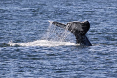 Gray Whale Fluke with Water Trailing Stock Photo