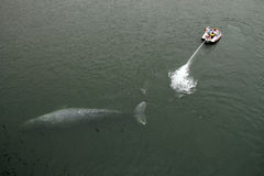 Gray Whale Rescue stock photography