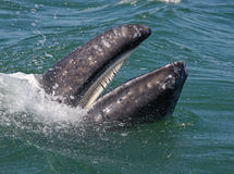 Gray whale's baleen. Baleen, soft teeth of a baby gray whale, sifts the krill from the sea water stock images