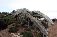 Gray whale skeleton. The skeletal remains of a gray whale which was discovered washed up on the shore of Monterey Bay near Santa Cruz, CA is preserved for public stock photos