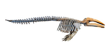 Gray whale skeletons Stock Photo