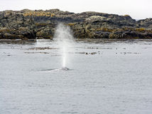 Gray Whale Spouting op de Kust royalty-vrije stock foto