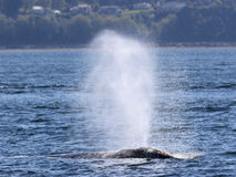 Gray Whale Spouting in the Sunshine Royalty Free Stock Photos