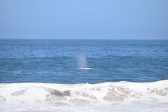Gray Whale Spouts Offshore stockfotografie