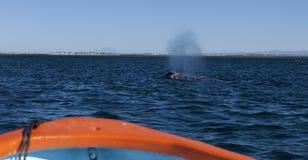 Gray whale sprut Royalty Free Stock Photos