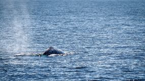Gray Whale Stock Photos