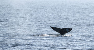 Gray Whale Tail Royalty Free Stock Image