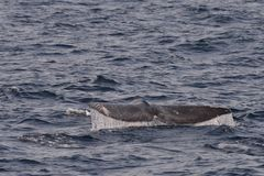 Gray Whale Tail Imágenes de archivo libres de regalías
