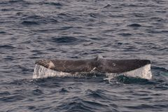 Gray Whale Tail. Gray Whale off the coast of Los Angeles, CA royalty free stock photos