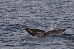 Gray Whale Tail Submerged Lizenzfreies Stockfoto