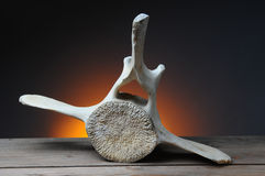 Gray Whale Vertebrae Stock Photo